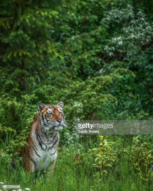 daydreaming - sumatran tiger stock pictures, royalty-free photos & images