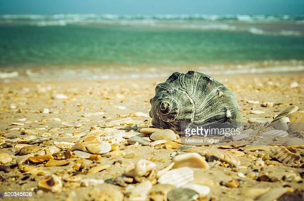 Daydreams on the Shore Whelk Seashell on Sandy Beach and Ocean