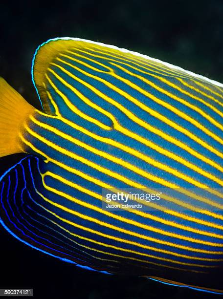 The bright yellow and blue stripes of an Emperor Angelfish.