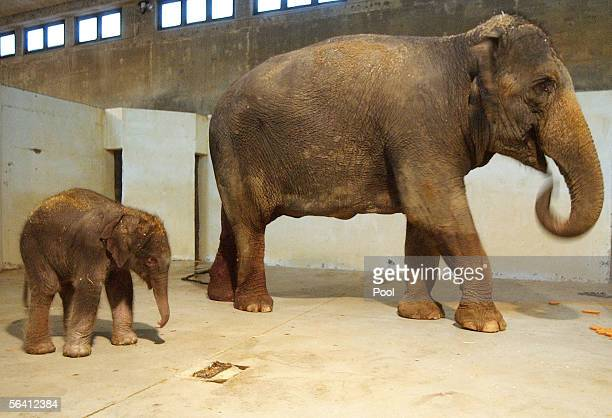 A dayold and as yet unnamed elephant calf follows his 20yearold mother Tamar in their enclosure December 10 2005 in the Biblical Zoo in Jerusalem...