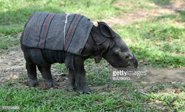 A 12 dayold male rhino calf walks at The Centre for Wildlife Rehabilitation and Conservation facility at Kaziranga National Park in the northeastern...