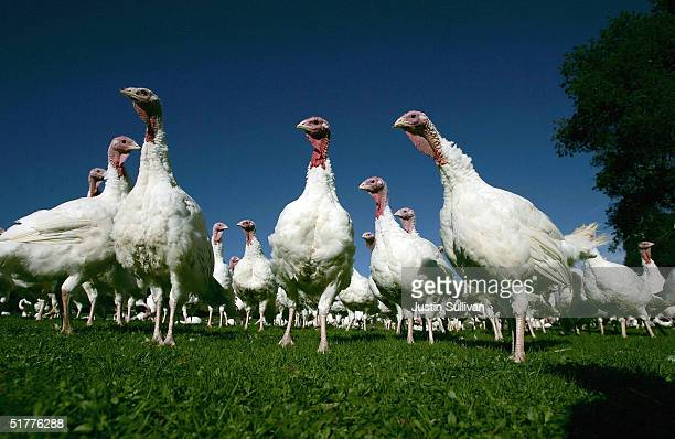 Days before Thanksgiving turkeys are seen at the Willie Bird Turkey Farm November 22 2004 in Sonoma California It is estimated that Over 525 million...