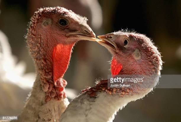 Days before Thanksgiving two turkeys peck at each other at the Willie Bird Turkey Farm November 22 2004 in Sonoma California It is estimated that...