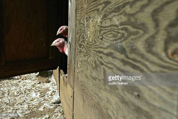 Days before Thanksgiving two turkeys peer out of a barn door at Willie Bird Turkey Farm November 22 2004 in Sonoma California It is estimated that...
