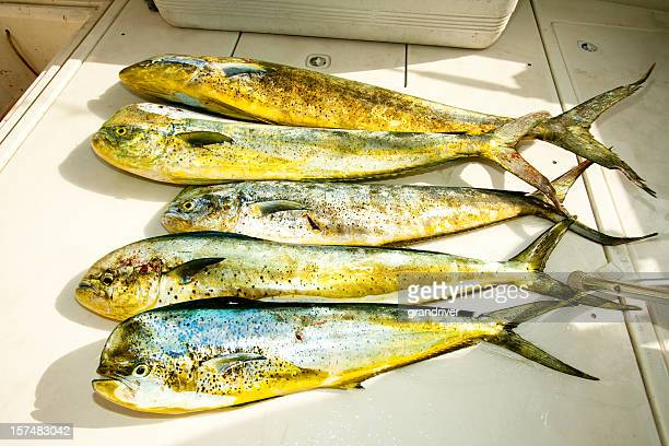 Day's Catch of Dolphin fish, MahiMahi or Dorado