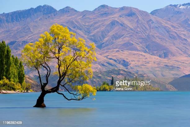 daytime long exposure of famous lone tree in lake wanaka, south island, new zealand, known as #thatwanakatree - lago wanaka - fotografias e filmes do acervo