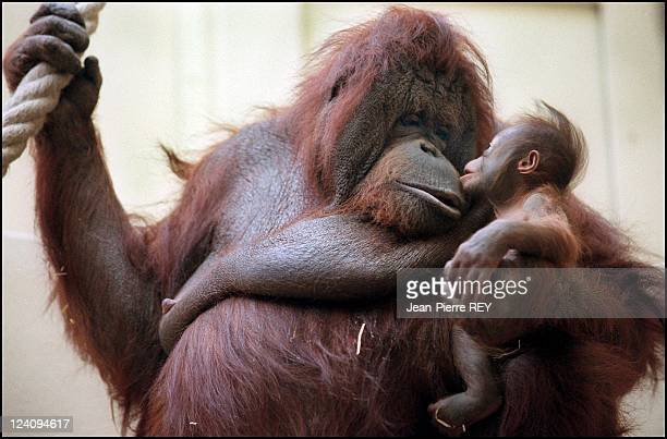 Dayu a baby orangutang born at 'Jardin des plantes' with his mother 'Nenette' In Paris France On February 03 2000