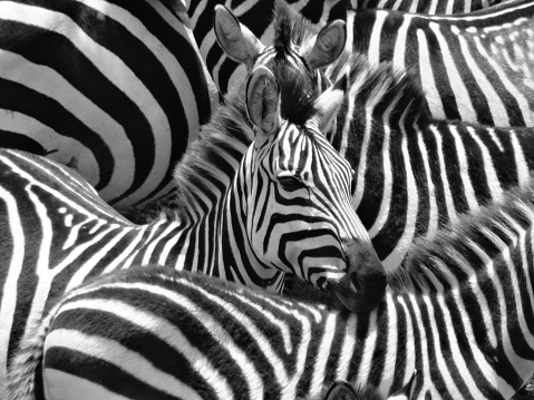 A dazzle of Zebras 1126600463