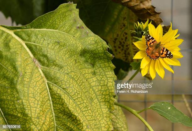 dDENVER CO SEPTEMBER 28 A painted lady butterflies sits on a sunflower at the Urban Farm at the United Methodist ChurchMontbello on September 28 2017...
