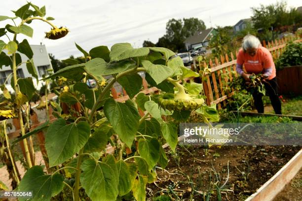 dDENVER CO SEPTEMBER 28 Donna Garnett right picks heirloom beets out of the Urban Farm at the United Methodist ChurchMontbello on September 28 2017...