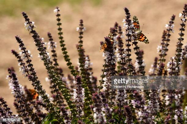 dDENVER CO SEPTEMBER 28 Painted lady butterflies enjoy the nectar on flowering basil plants at the Urban Farm at the United Methodist ChurchMontbello...