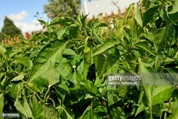 dDENVER CO SEPTEMBER 28 Peppers grows at the Urban Farm at the United Methodist ChurchMontbello on September 28 2017 in Denver Colorado Montbello...
