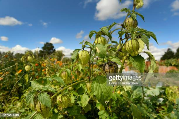 dDENVER CO SEPTEMBER 28 Tomatillos grows at the Urban Farm at the United Methodist ChurchMontbello on September 28 2017 in Denver Colorado Montbello...