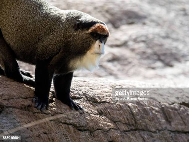 De Brazza's monkey sitting on a few rocks