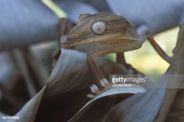 De la famille des geckos, l'uroplatus lineatus est spécifique des forets de l'Est de Madagascar.