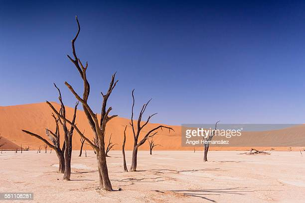 dead acacia erioloba in deadvlei - petrified wood stock pictures, royalty-free photos & images