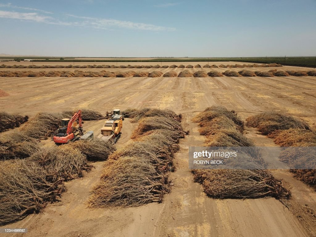 US-agriculture-drought-climate-ALMONDS : News Photo