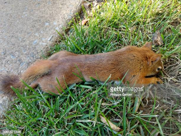 Dead American red squirrel on grass