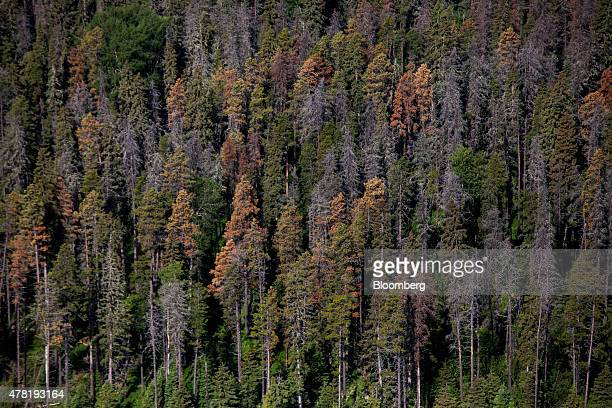 Dead and dying pine trees infested by mountain pine beetles stand in this aerial photograph taken above a forest near Whitecourt Alberta Canada on...