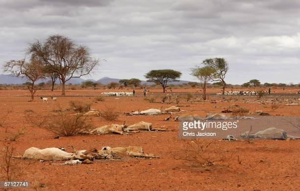 Dead animal carcasses lie outside of the village of Dambas on March 16 2006 in Dambas Kenya Many cattle animals died of dehydration recently since...