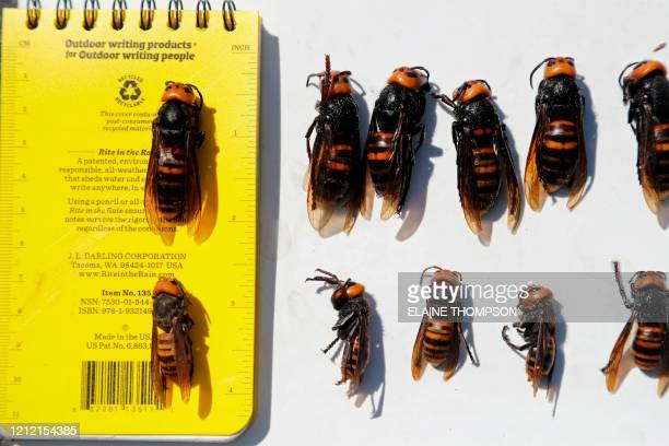 Dead Asian giant hornets, queens lined-up on top and the smaller workers below, all samples brought in for research, are displayed with a field...