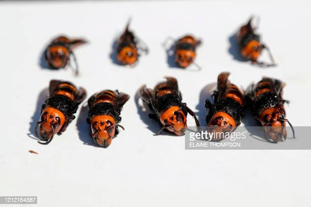 Dead Asian giant hornets, samples brought in for research, are displayed on May 7 in Blaine, Washington. - The new Asian hornets that have been found...