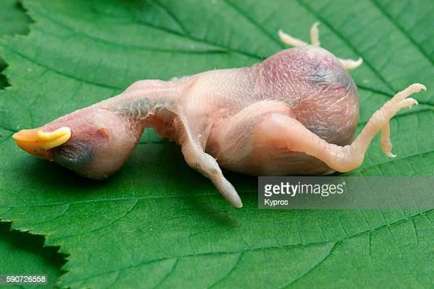Dead Baby Bird Fallen From Nest - Bavaria Germany Europe