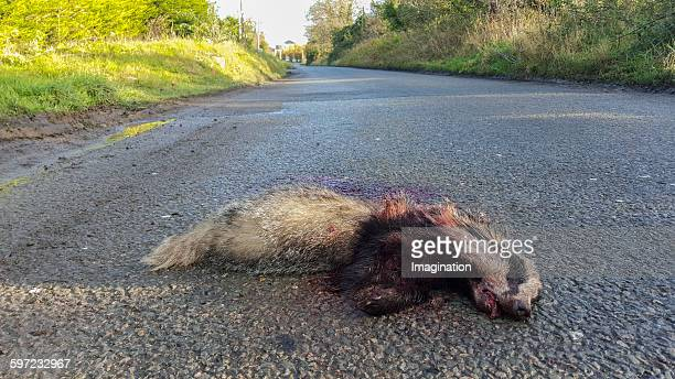 dead badger - roadkill stock photos and pictures