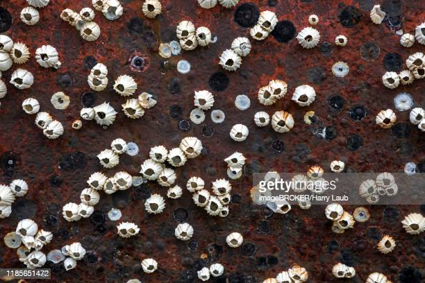 dead barnacles (balanidae) on a rusty hull, iceland - barnacle stock pictures, royalty-free photos & images