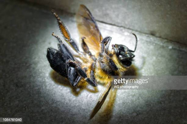 dead bee in the spotlight. - dead animal stock pictures, royalty-free photos & images
