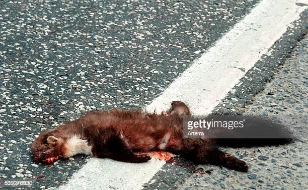 Dead beech marten on road killed by traffic