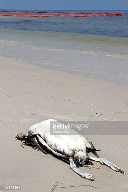 A dead bird lays on the shore of Horn Island Mississippi US near oil boom on Monday June 7 2010 Though the cause of death is uncertain locals...