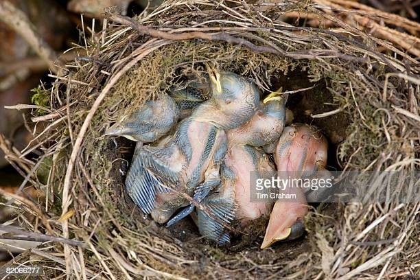 Dead Blackbird nestlings in abandoned nest, Swinbrook, Oxfordshire, United Kingdom