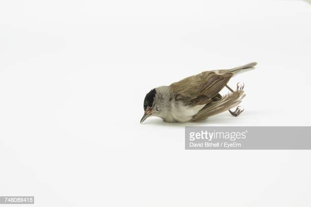dead blackcap against white background - död fysisk beskrivning bildbanksfoton och bilder