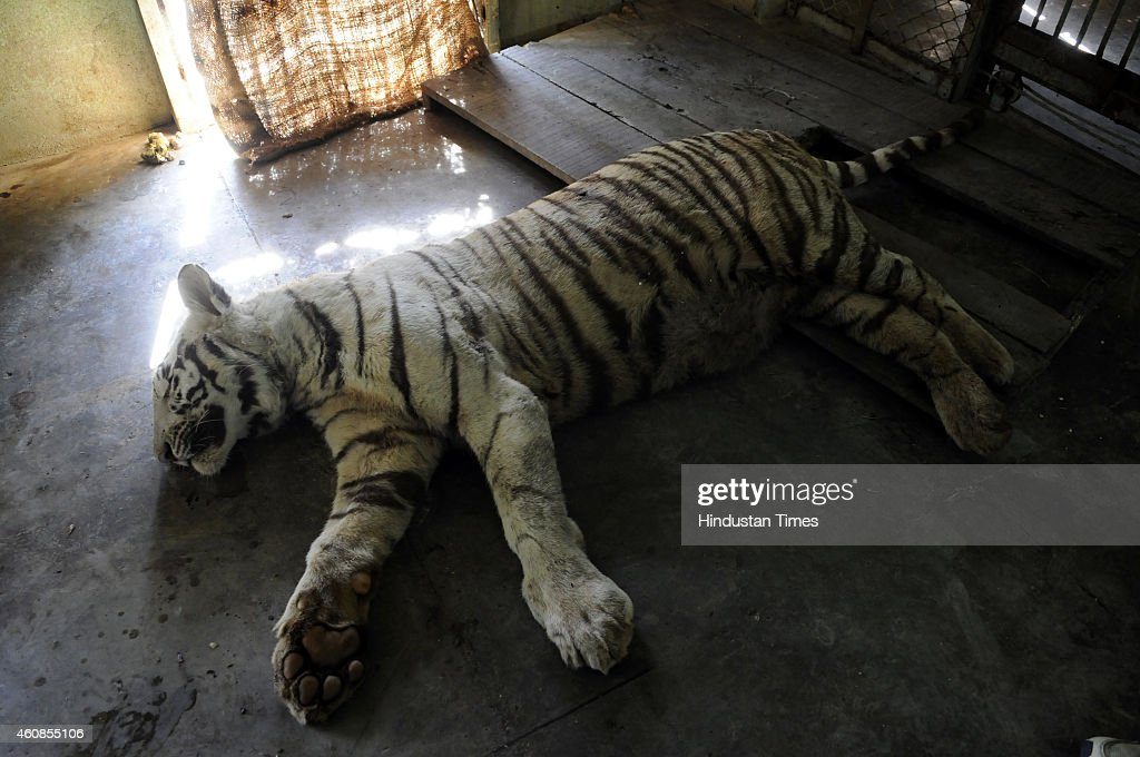 White Tiger Dies After Snake bite At Indore Zoo : News Photo