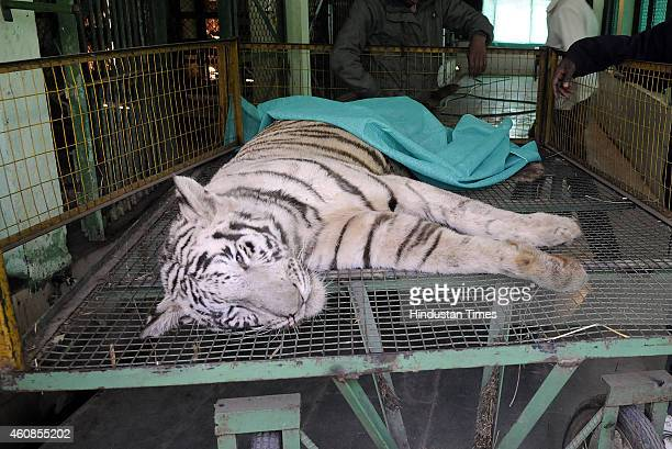 Dead body of threeyearold white tiger Rajjan lying in cage at Indore Zoo after being bitten by Cobra at the Kamala Nehru zoo on December 27 2014 in...