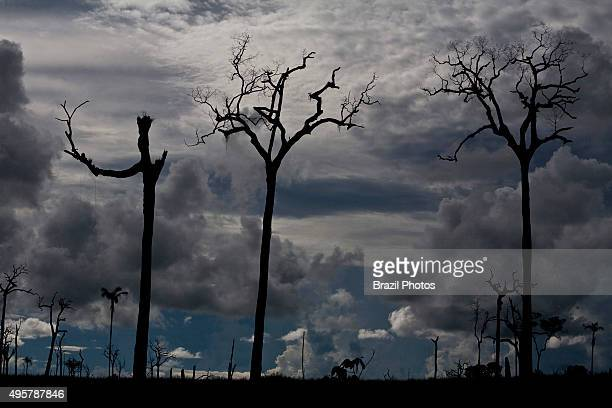 Dead Brazil nut tree illegal occupation of Government land land grabbing Amazon deforestation at Flona do Jamanxim Para State Amazon rainforest Brazil