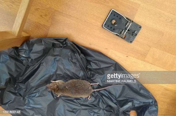 Dead brown rat lies on sheeting caught at a residential property in southwest London on March 15, 2021. - It's boom time for companies like Sims' CHS...