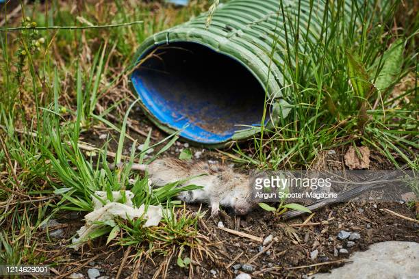 Dead brown rat on a farm near Castle Cary in Somerset, taken on May 21, 2019.
