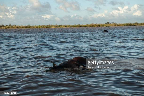 Dead buffalo floats in the water on March 22, 2019 outside of Buzi, Mozambique. Thousands of people are still stranded after after Cyclone Idai hit...