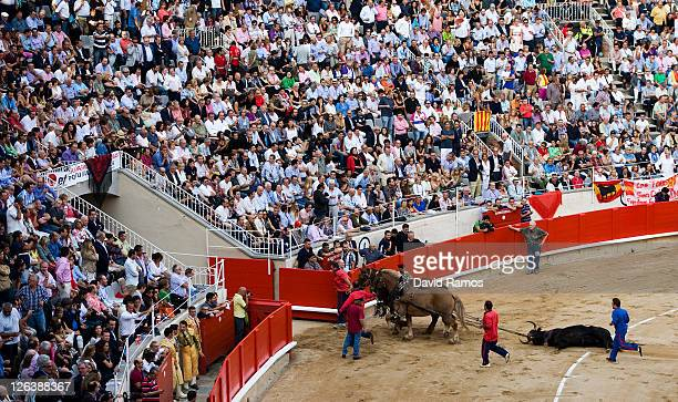 A dead bull is dragged out of the bullring after being slaughtered by the bullfighter Jose Tomas during the last bullfight at the La Monumental on...