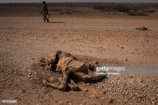 A dead camel sits just outside an IDP camp on February 24 2017 in Karin Sarmayo Somalia Brief rains brought an estimated 100000 people to the region...