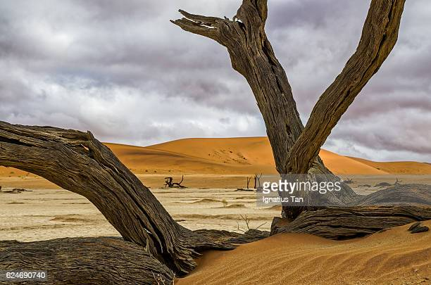 dead camelthorn tree in deadvlei, namibia - ignatius tan stock photos and pictures