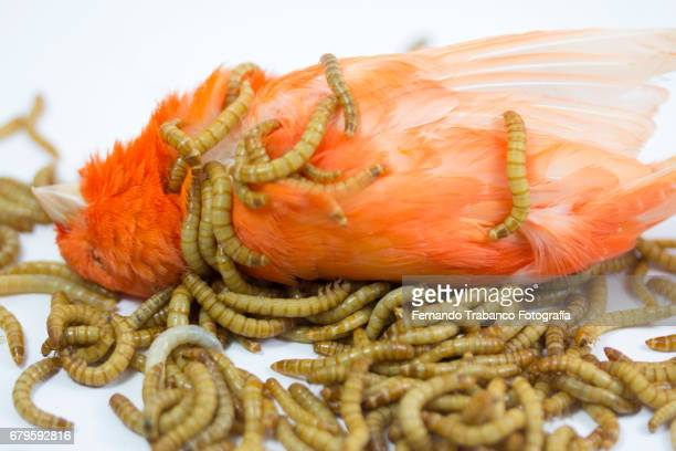 dead canary bird and multitude of insect larvae eat corpse rotten in decay and hideous - mealworm stock photos and pictures