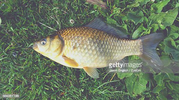 dead carp on grass - carp stock photos and pictures