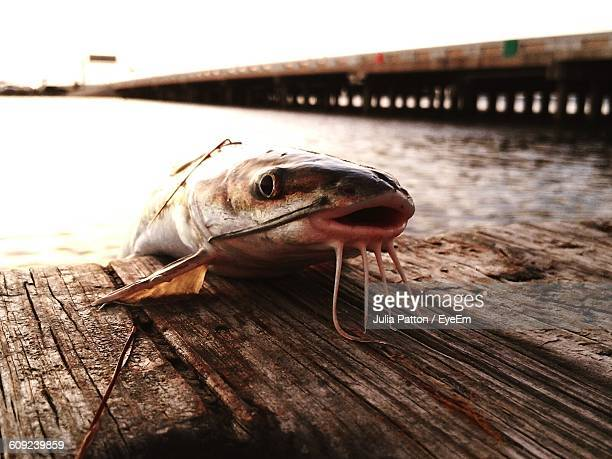 Dead Catfish On Pier Over River