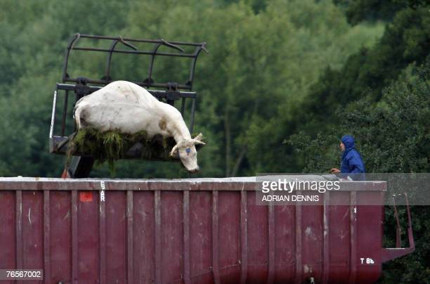 Dead cattle are carried by a loader onto a lorry on a farm near Normandy in Surrey in southeast England 07 August 2007 Investigators have found five...