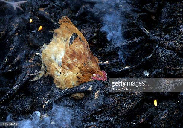 Dead chicken is seen among the bodies of burnt chickens at the No. 7 Community at Lanfeng Village of Yuanyang Township on February 4, 2009 in...