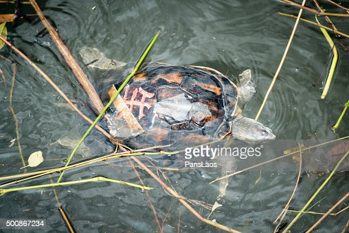 Dead Chinese Stripedneck Turtle Stock Photo - Getty Images