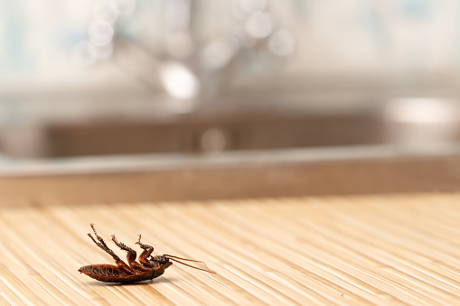 Dead cockroach in apartment house in the kitchen. 516188962